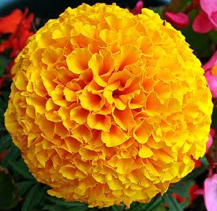 Marigold Seeds Tall Double Mixed Flower Seeds Katifes Seeds