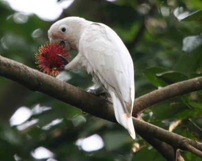 21 Spesies Burung Kakatua Yang Tersebar Di Dunia Burung Kakatua