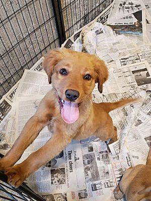 Chicago Il Golden Retriever Meet Winnie A Pet For Adoption Golden Retriever Pet Adoption
