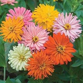Buy Zinnia Cactus Mixed Color Desi Flower Seeds Online At Nurserylive Best Seeds At Lowest Price Flower Seeds Online Annual Flowers Cactus Flower