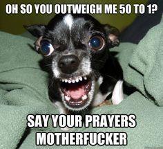 Every chihuahua ever.