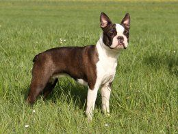 How To Tell The Difference Between A Boston Terrier And A French