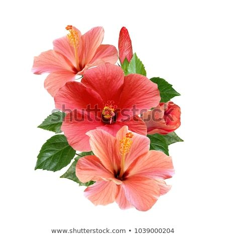 Tender Pink Hibiscus Flowers Bouquet Isolated On White Background Flower Bouquet Pictures Hibiscus Flowers Flowers Bouquet