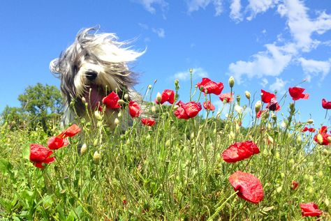 Bearded Collie Dog Art Portraits Photographs Information And