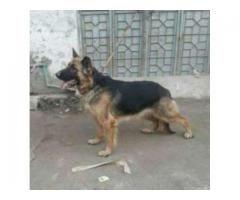German Shepard Dog Female Breeder Age 17 Month For Sale In Rawalpindi Dogs Breeders German Shepard