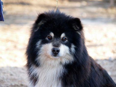 Chien Finnois De Laponie Animals I Like Pinterest Dog
