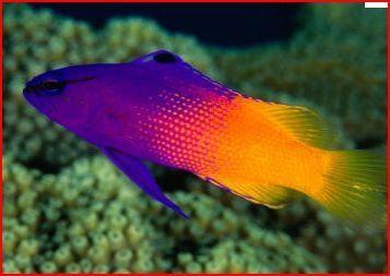 Saltwater Aquarium Marine Fish Tanks Basslet Gramma Aquarium