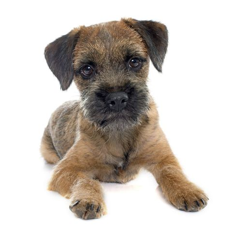 Border Terrier Dogs That Don T Shed Dog Breeds That Dont Shed