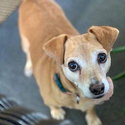 Woodland Hills Ca Dachshund Meet Biscuit A Pet For Adoption