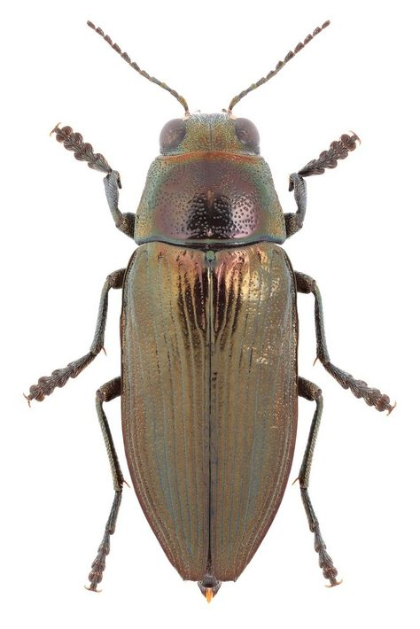 Buprestis Haemorrhoidalis 甲虫類 虫 美しい