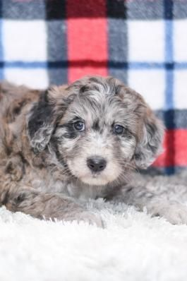 Sadie Aussiedoodle Puppy For Sale In Millersburg Ohio In 2020 Aussiedoodle Puppies For Sale Puppies