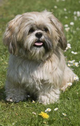 Shih Tzu Affectionate And Playful Shih Tzu Puppy Shih Tzu Dog