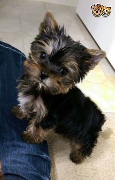 I Rescued A Family Of Yorkies I Was Actually On A Mission To Rescue A Pony Only To Find Out The Owner Was Keeping Three Week Old Yorkie Puppy Puppies Baby