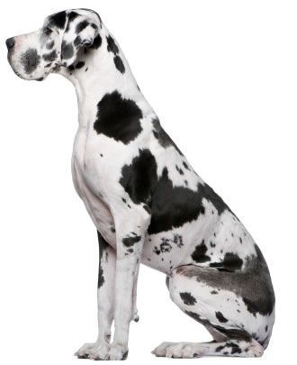 One Of My Dream Dogs Harlequin Great Dane Great Dane Puppy