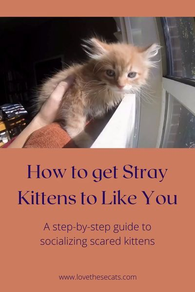 How To Get Scared Kittens To Like You In 2020 Feral Kittens Kitten Cuddle Kitten Care