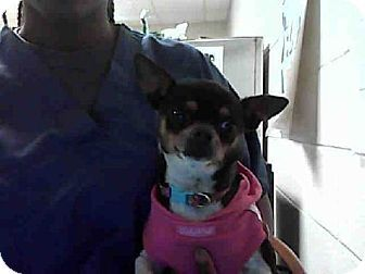Fayetteville Nc Chihuahua Meet A177663 A Dog For Adoption