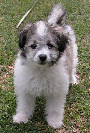 Poodles Smart Active And Proud Hybrid Dogs Dog Crossbreeds
