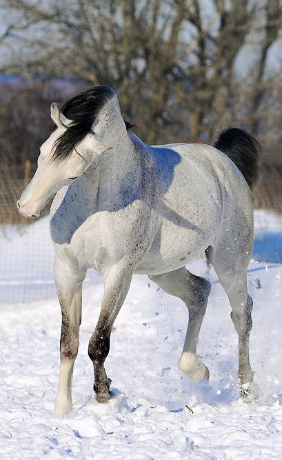 Grey in snow. Love the black points.  #horses #equines #animals