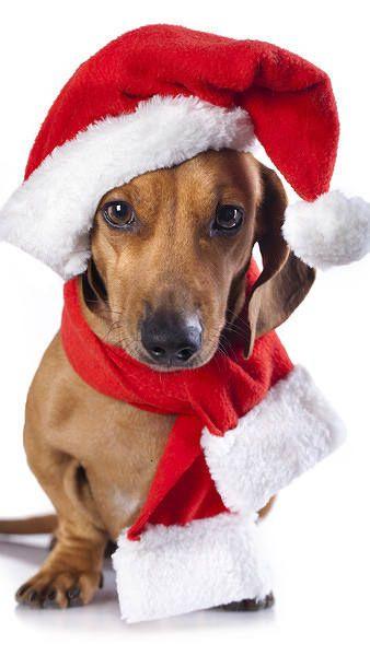 Christmas Dog Iphone 6s Plus Wallpaper Dog Wallpaper Iphone Dachshund Wallpaper Dachshund Christmas