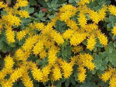 Sedum Palmeri Une Plante Grasse Rustique Qui Fleurit En Hiver