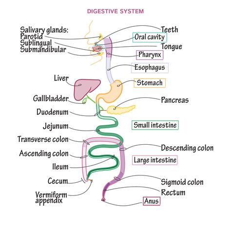 6 key functions of the digestive system: * Ingestion of foods and liquids * Digestion (chemical and mechanical) of foods and liquids * Propulsion of materials through the body * Secretion of digestive enzymes and hormones * Absorption of nutrients
