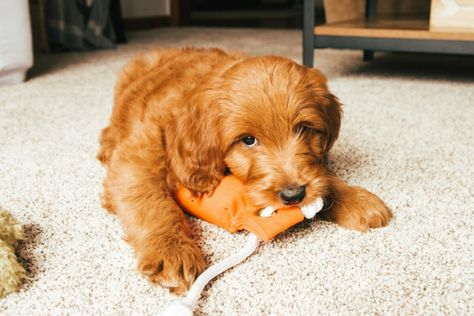 Essentials To Get Before Bringing a Puppy Home - Wandering The Hills