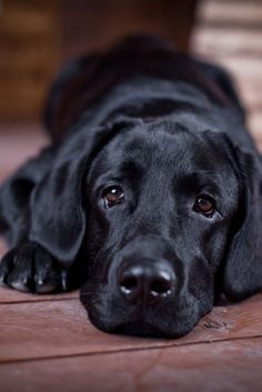 Why do so many people like Labrador ? by L&G PET Many people now keep a Labrador when choosing a companion dog. Raza Labrador, Perro Labrador Retriever, Schwarzer Labrador Retriever, Labrador Dogs, Black Labs Dogs, Black Lab Puppies, Cute Dogs And Puppies, Pet Dogs, Doggies