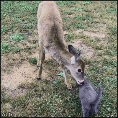 ACG • Cute deer licking blue Kitten Amazing interspecies friendship and maternal instinct