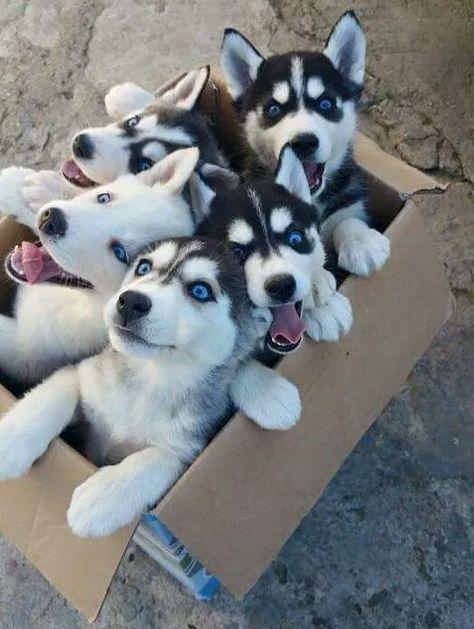 A fresh box of Siberian Huskies