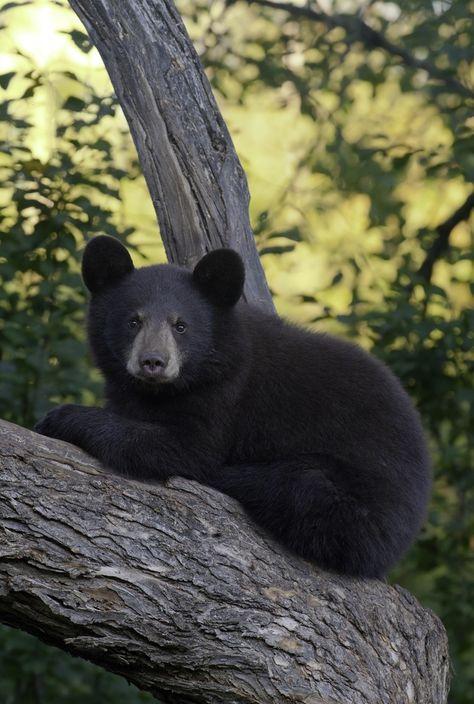 Black bear cub relaxing in a tree