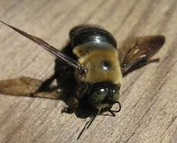 Carpenter Bees Sting Beesting
