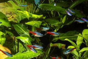 Tetra Neon Tetras Jumbo Bulk Packs Aquarium Fish For Sale Fish For Sale Tetra Fish