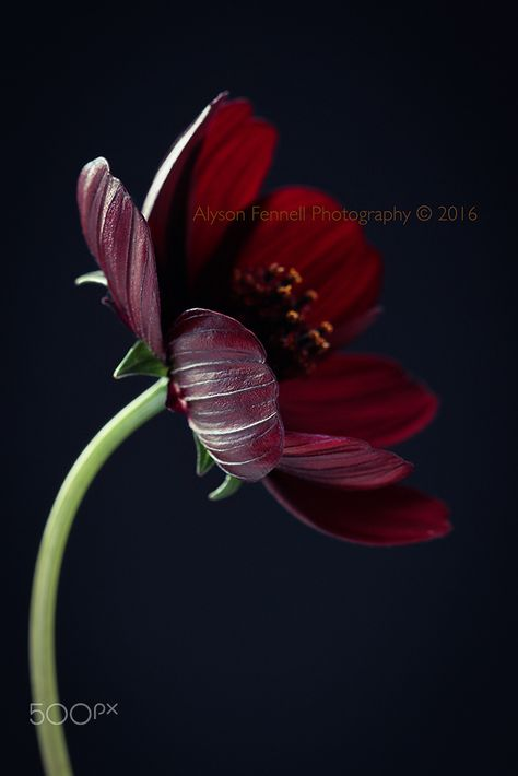 October is for Chocolate Cosmos, they smell like Chocolate.