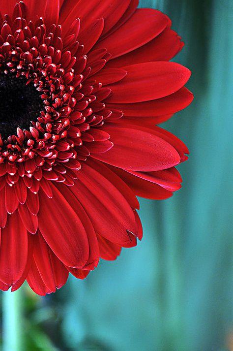 Flower Photograph Bright Red Gerbera Daisy, Fine Art Nature Photography, Flower Home Decor Wall Art, Red & Teal Gerber Botanical Photograph