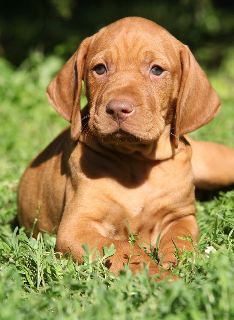 Hungarian Vizsla is one of the 10 Easiest Dogs to Train