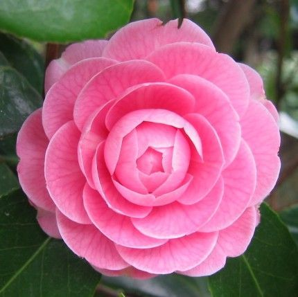 Camellia Pink Perfection Flower Photos Camellia Flower Beautiful Pink Flowers