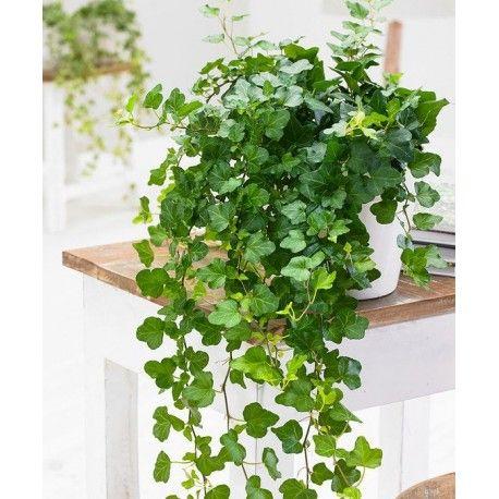 Heder Helix Wonder Bluszcz Domowy Zielony Parapet Bathroom Plants Plants Ivy Plants