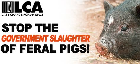 2,000 Feral Pigs Sentenced to Death by U.S. Government! Act Now to Save Them!!