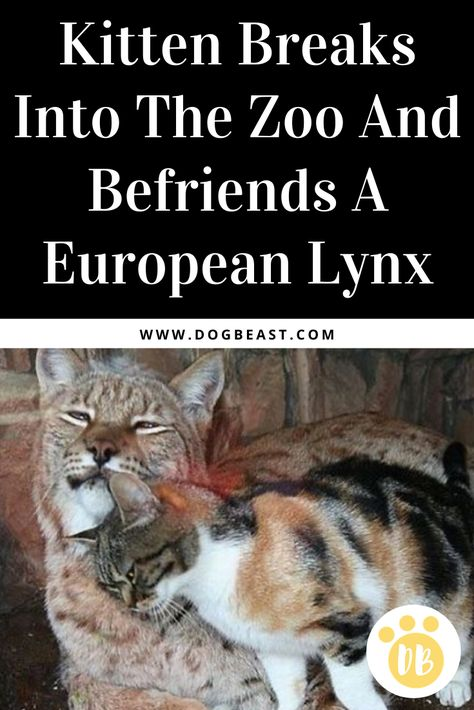 Kitten Breaks Into The Zoo And Befriends A European Lynx Dogbeast In 2020 Animal Stories Funny Animals Dog Stories
