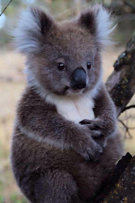 "angel kiyoss ""Gosh, this little koala is so irresistibly cute ""   Cute animals, Baby animals ..."