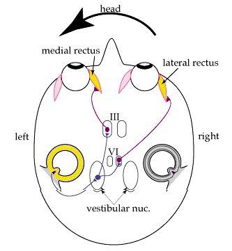 Notes on the vestibular system | Audiology Course | Pinterest ...