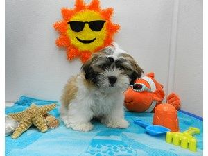 Dogs Puppies For Sale Petland Orlando South Fl Puppies For Sale Puppies Dogs And Puppies