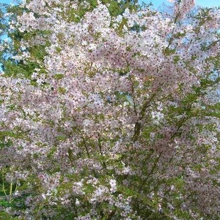 5ft The Bride Cherry Blossom Tree 9l Pot Prunus Incisa The Bride Cherry Blossom Tree Ornamental Trees Blossom Trees