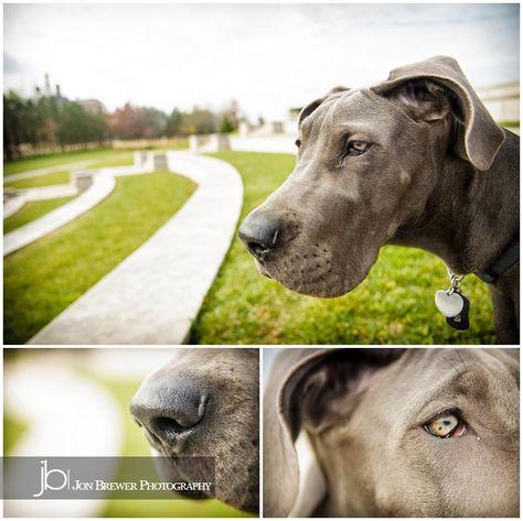 Luna Great Dane Puppy Jon Brewer Photography Great Dane