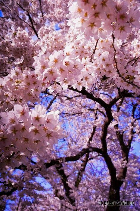 Pin By Pallabi On Affinity Nature Photography Flowers Blossom Trees Cherry Blossom Tree