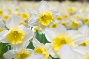 Narcissus Flowers Narcissus Flower Flower Meanings Narcissus