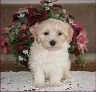 Maltipoo Puppies For Sale Dog Breeders Mixed Breed Dogs