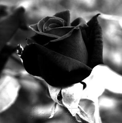 صور سوداء 2020 خلفيات سوداء ساده للتصميم Black Rose Flower Black Rose Seeds Rose Seeds