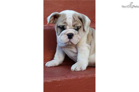English Bulldog Puppies Phone Removed Red White Male Bulldog