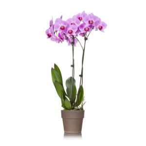 Just Add Ice Pink 5 In Rustic Orchid Plant In Terra Cotta Pot 2 Stems 210472 The Home Depot Orchid Plants Plants Orchids